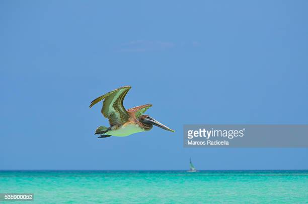 pelican at cayo coco, cuba. - radicella stock photos and pictures