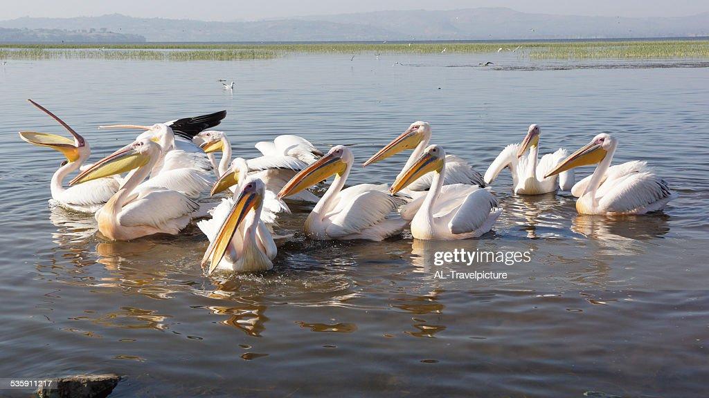 Pelican, Awassa, Etiopía, África : Foto de stock