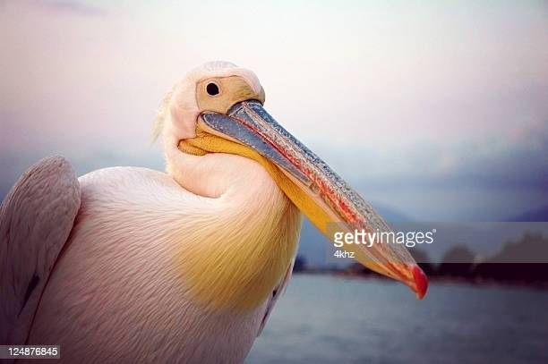 Pelican Vogel By The Sea