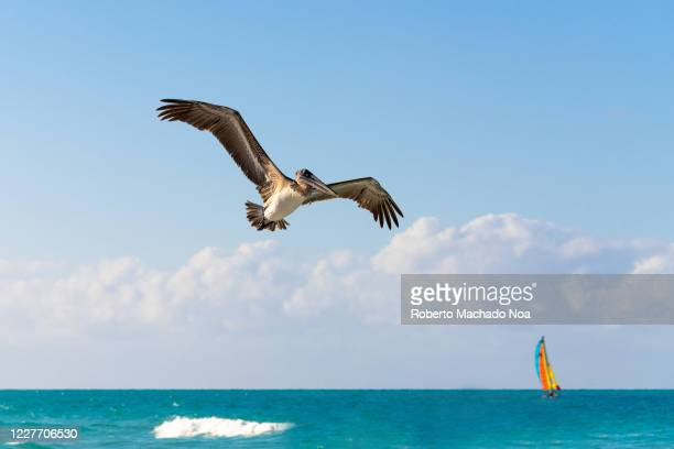 Pelican bird flying over a tropical beach. There is a sail in the horizon. The travel image was taken in the hotel 'Las Dunas' operated by Melia...