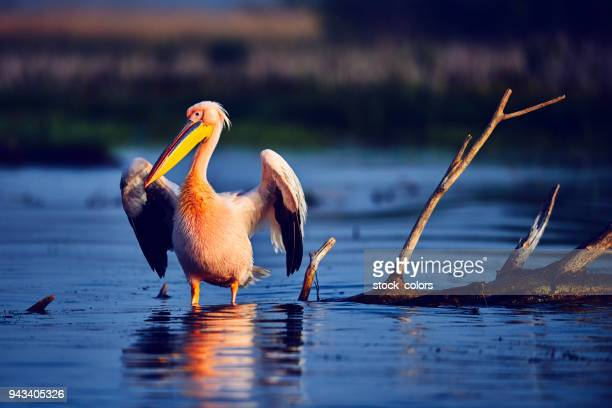 pelican bird - romania stock pictures, royalty-free photos & images
