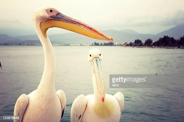 Pelican Birds By The Sea