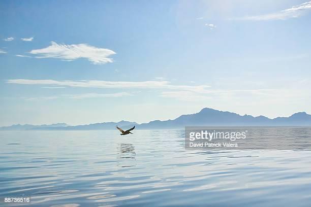 Pelican Blue