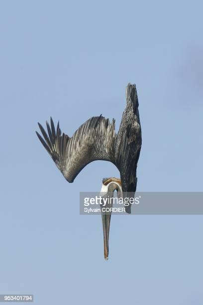 Pelican brun en train de pecher Plongeon