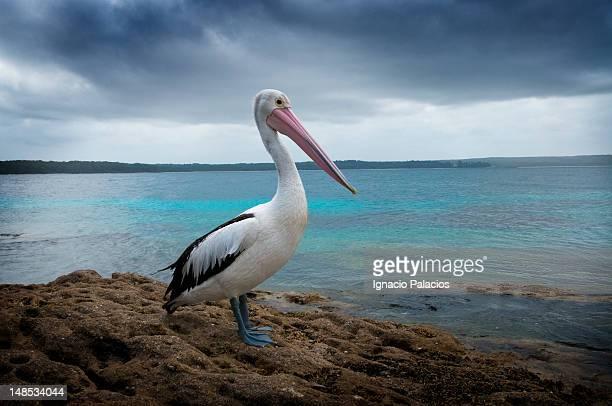 Pelican by sea.