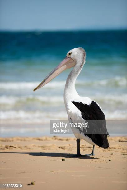 pelican by the sea - pelican stock pictures, royalty-free photos & images