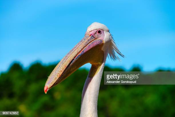pelican close-up portrait, proudly bird - rookery stock pictures, royalty-free photos & images