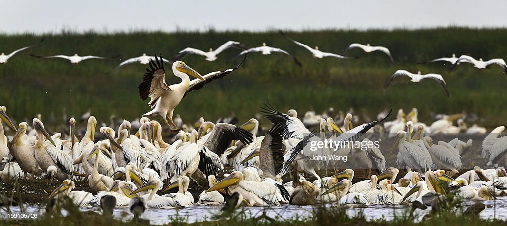 Pelican colony at Lake Manyara, Tanzania : Stock Photo