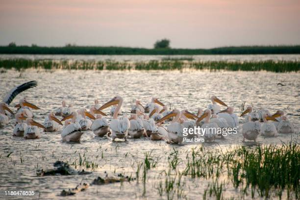 pelican colony in danube delta, romania, europe - pelican stock pictures, royalty-free photos & images