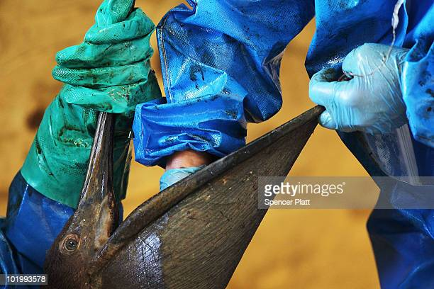 A pelican covered in oil is cleaned at the Fort Jackson Oiled Wildlife Rehabilitation Center on June 11 2010 in Buras Louisiana It is thought that...