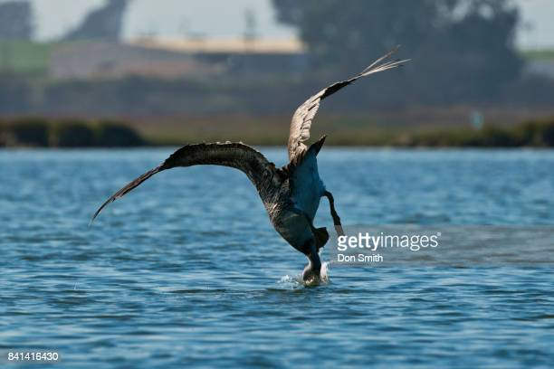pelican dive - don smith stock pictures, royalty-free photos & images