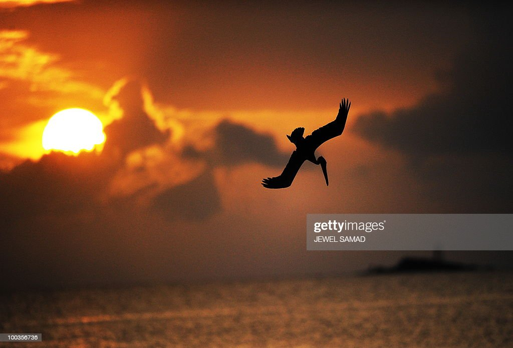 A pelican dives aiming a catch as the sun set over the ocean in St John's on May 23, 2010. AFP PHOTO/Jewel Samad