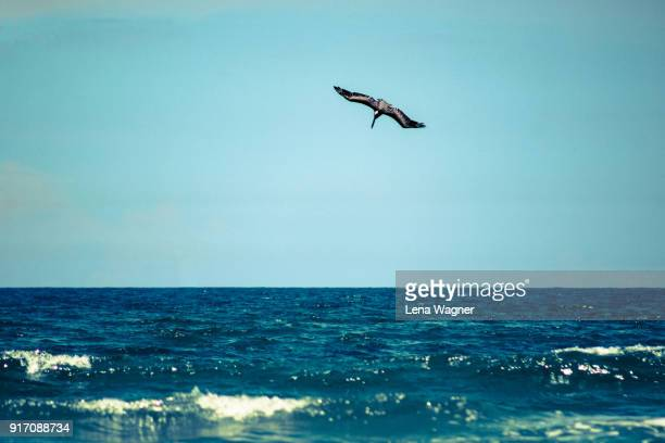 pelican diving into water - water bird stock pictures, royalty-free photos & images