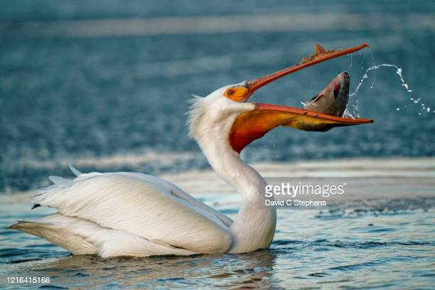 pelican eats large fish - western usa stock pictures, royalty-free photos & images