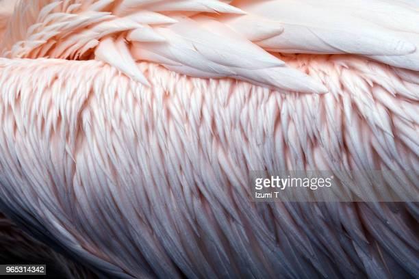 pelican feathers - zachtroze stockfoto's en -beelden