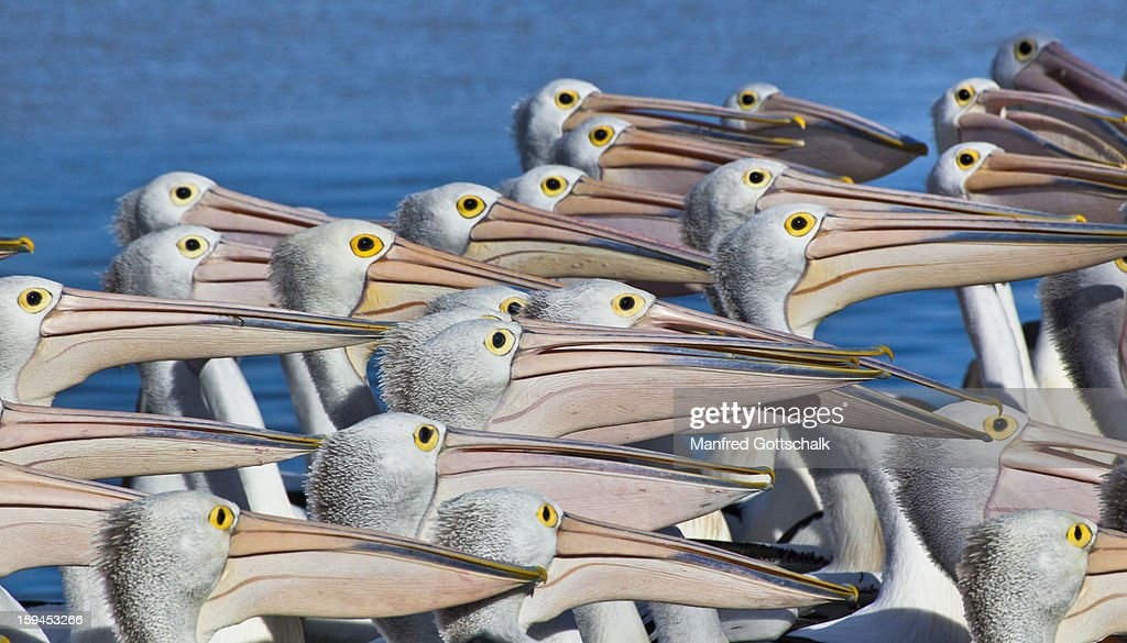 Pelican feeding at The Entrance : Stock Photo
