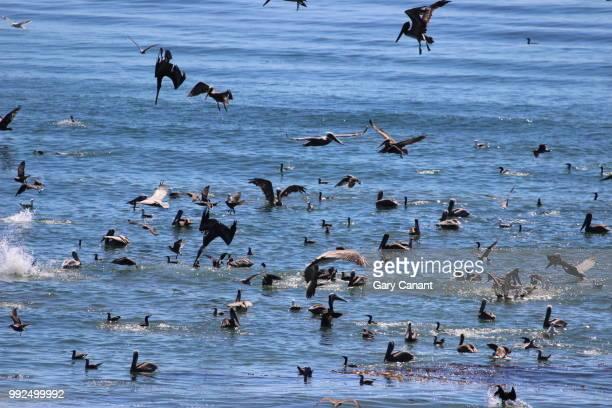 pelican feeding frenzy - feeding frenzy stock photos and pictures