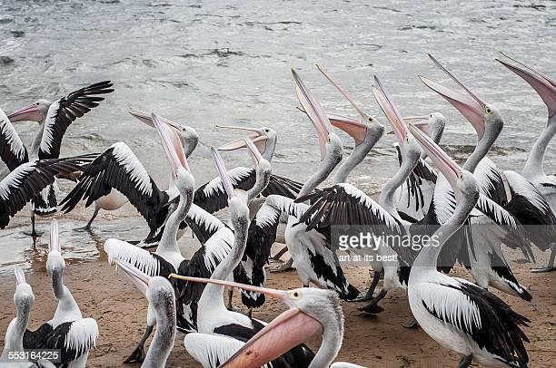 pelican feeding - phillip island stock pictures, royalty-free photos & images