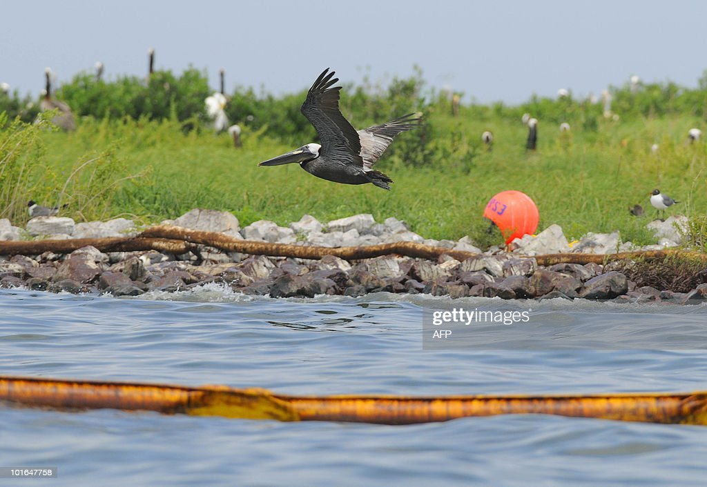 A pelican flies between oil-covered boom off of Queen Bess Island off of Grand Isle, Louisiana, June 5, 2010. The US government will respond to complaints that not enough people are tasked with rescuing creatures soaked in oil from the Gulf of Mexico spill, a top US official pledged June 4. AFP PHOTO/Cheryl GERBER