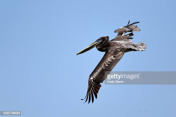 A pelican flies over Golden Gate Fields during Summer Races on Sunday September 2 2018 in Berkeley California