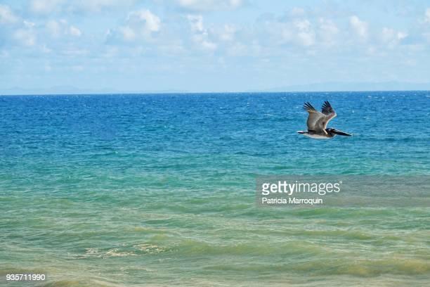Pelican Flies Over the Ocean