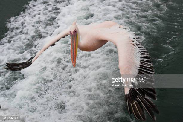 Pelican flying over Walvis Bay in Namibia.