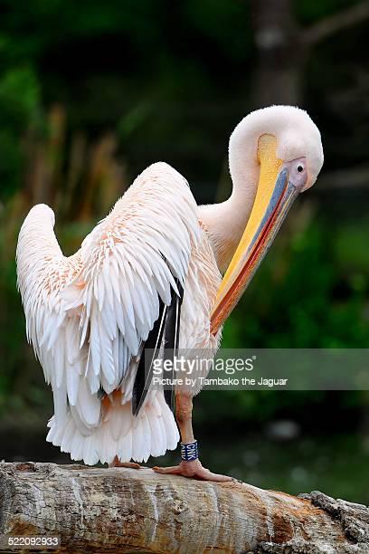 Pelican grooming on the log