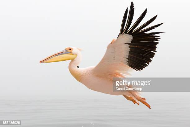 Pelican in Flight close up with steady wings approaching landing