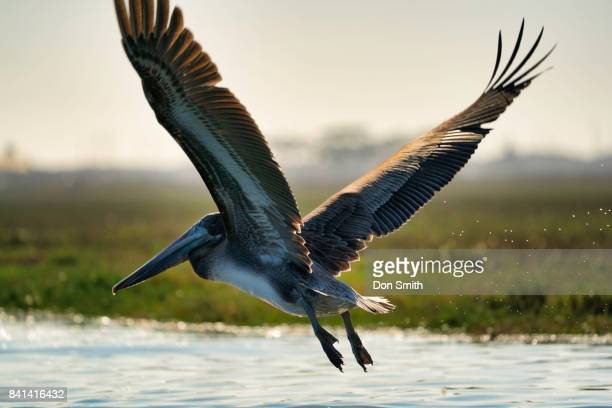 pelican in flight - don smith stock pictures, royalty-free photos & images