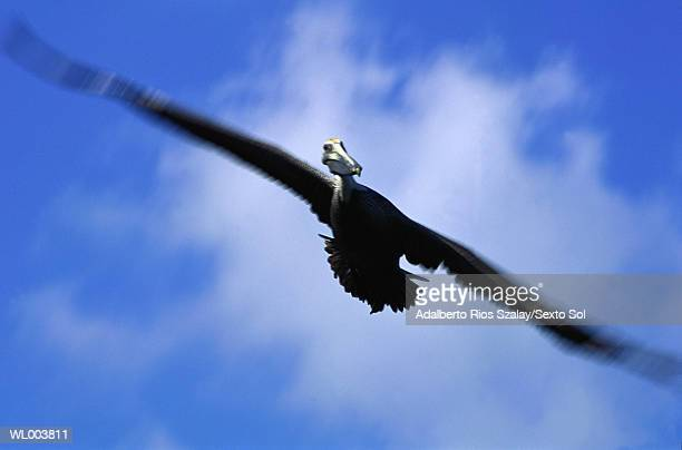 pelican in flight - sian ka'an biosphere reserve stock photos and pictures