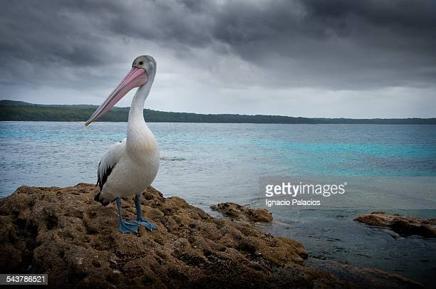 Pelican in Jervis bay Booderee National Park