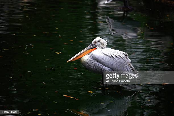 pelican in jurong bird park, singapore. - jurong bird park stock pictures, royalty-free photos & images