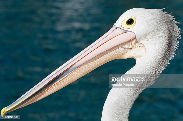 Pelican in Kiama's harbour.