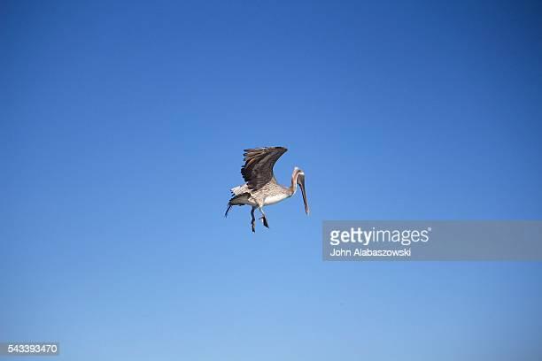 Pelican in mid flight