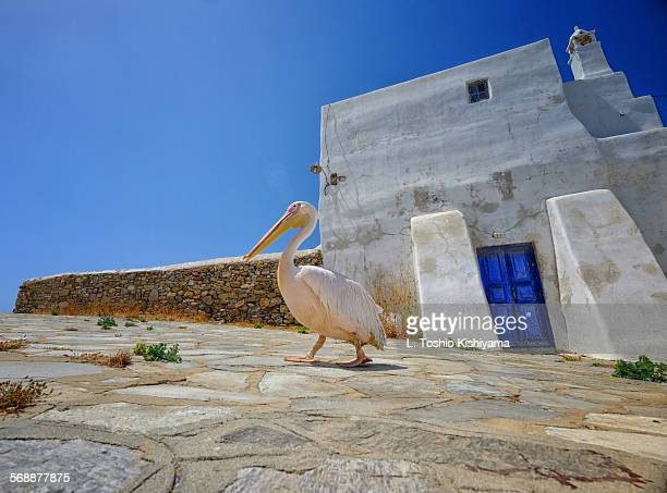 Pelican in Mykonos, Greece
