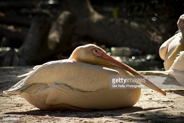 a pelican is set in sunlight - sind stock pictures, royalty-free photos & images