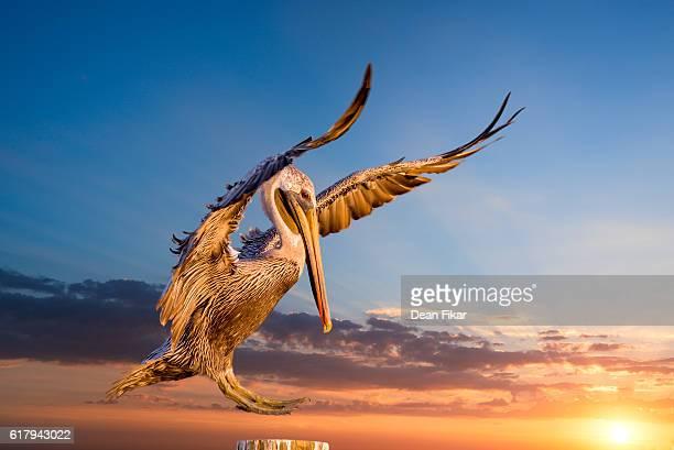Pelican Landing on a Dock