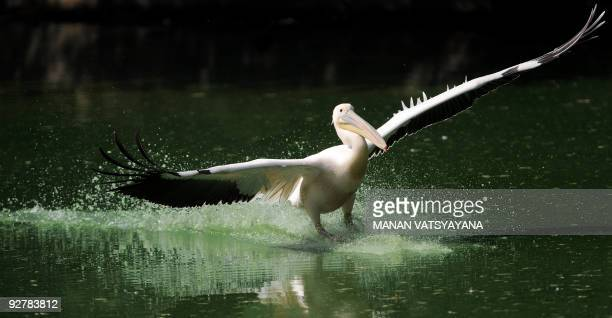 A pelican lands in a pond at the New Delhi zoo on November 5 2009 The 214acre National Zoological Park situated in the Indian capital is home to more...