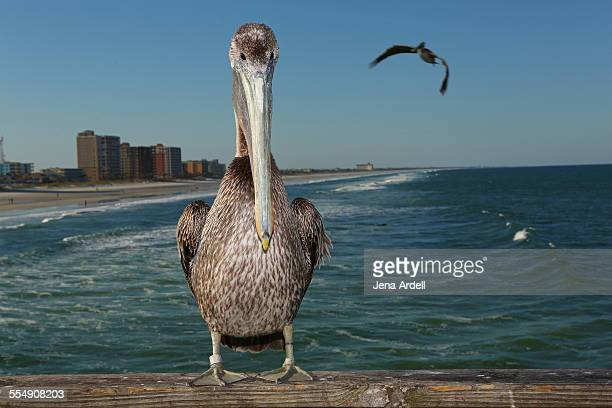 Pelican looking at camera