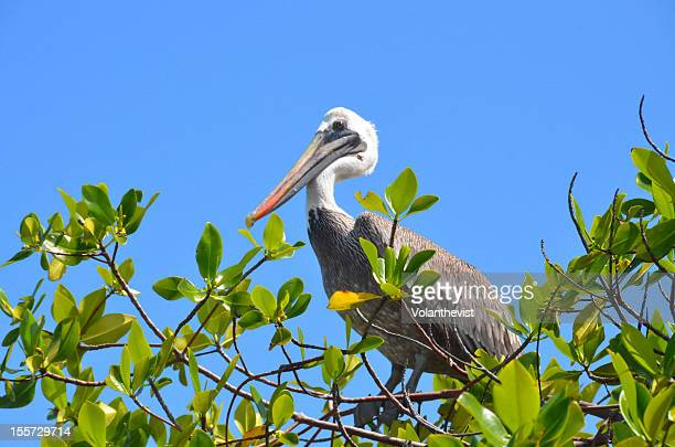 Pelican on a tree with blue sky - Galapagos
