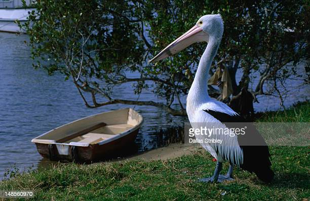 Pelican on banks of Hastings river.