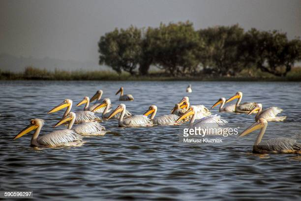 Pelican on Lake Tana with shore trees in distance