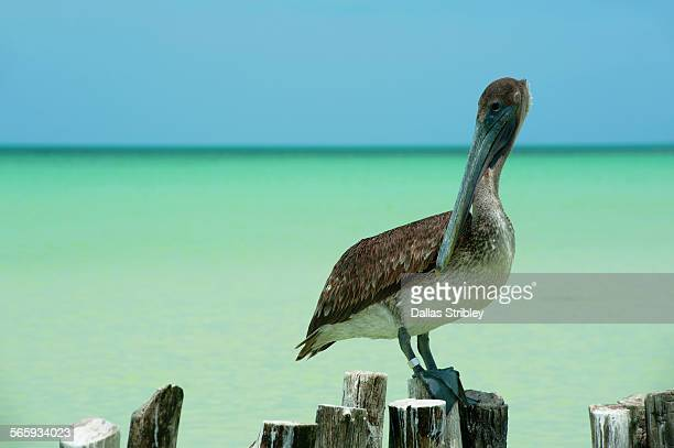 Pelican on old post, in the shallows, Holbox Is.