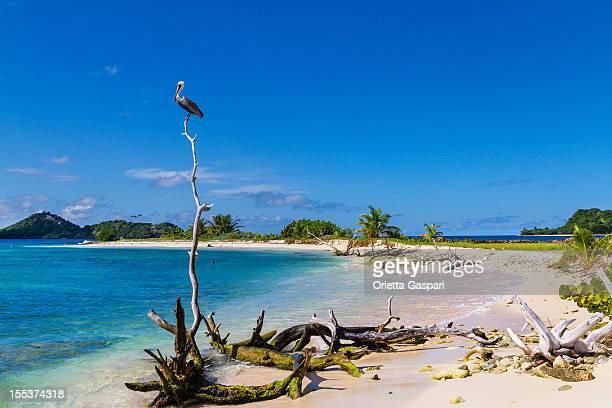 pelican on sandy island, granada - paisajes de isla de  granada fotografías e imágenes de stock