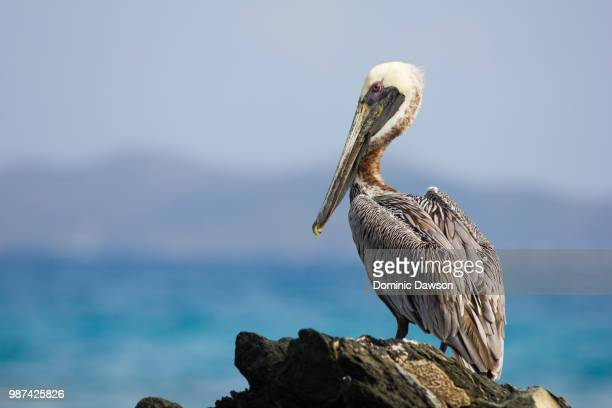 pelican on the rocks - brown pelican stock photos and pictures