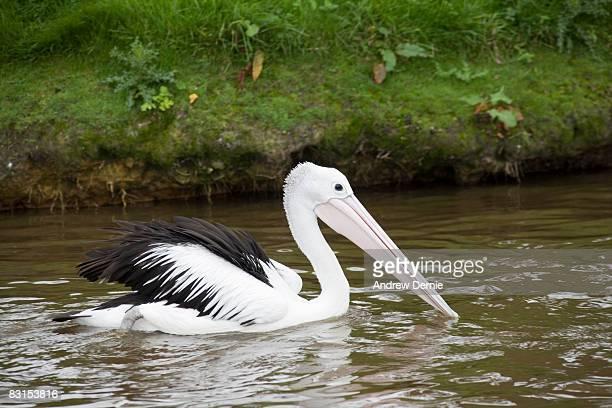 pelican on water - andrew dernie stockfoto's en -beelden