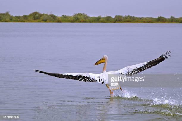 Pelican Pelican Djoudj National Park Senegal