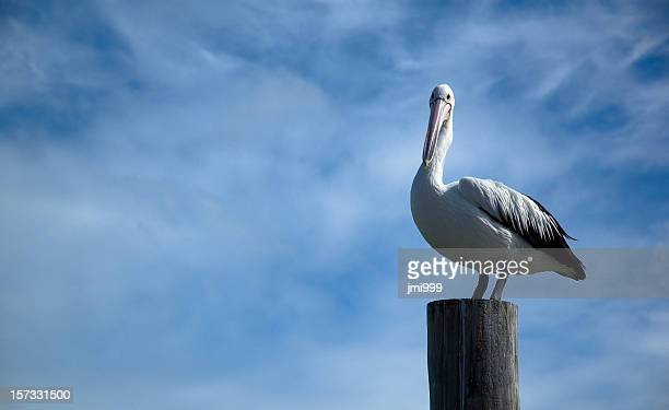 Pelican Perched on Pylon