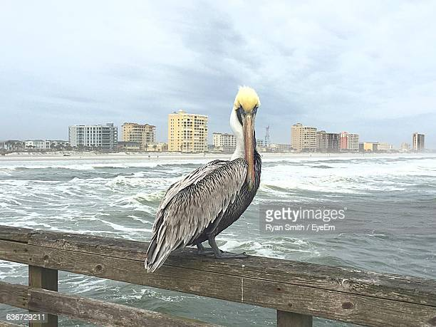 Pelican Perching On Bridge Railing