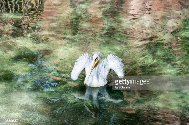 pelican - ian gwinn stock photos and pictures